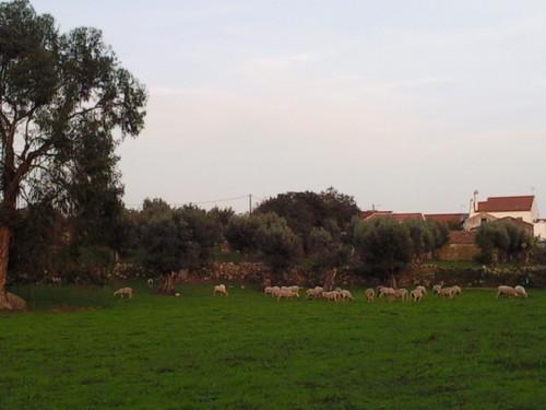Ovelhas pastando no Vale Foto original DAPL 2014