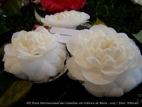 6 - Festa Internacional das Camélias em Celorico