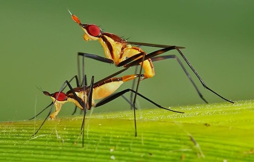 mosquitos-having-sex.jpg