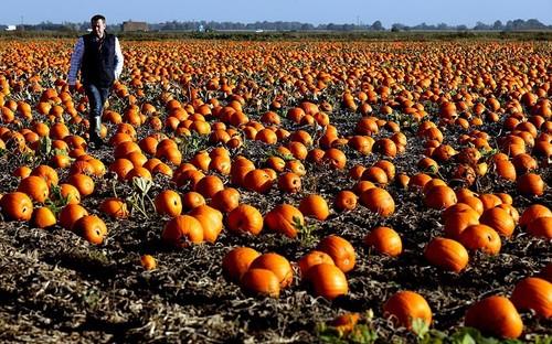 potd-pumpkins_3067505k.jpg