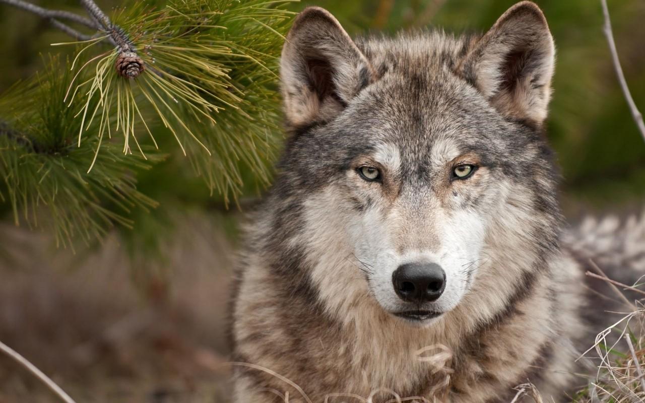 lobo-selvagem-2.jpg