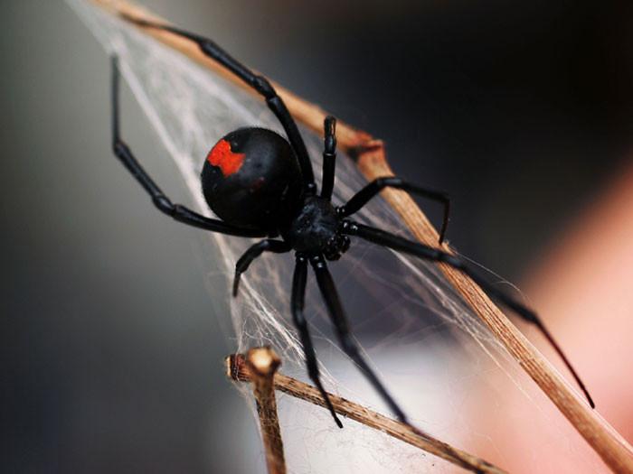 aranha-viúva-negra.jpg