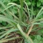 Cymbopogon_citratusFR.JPG