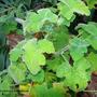 Pelargonium_tomentosum.jpg