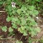 Pelargonium_fragrans.jpg