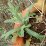 Artemisia_dracunculus.jpg