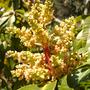mangifera indica.jpg