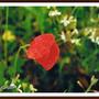 Orvalho Vermelho