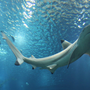 Tubarão de pontas negras