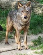 Canis_lupus.jpg