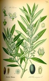 Folhas de oliveira Wikipedia.jpg