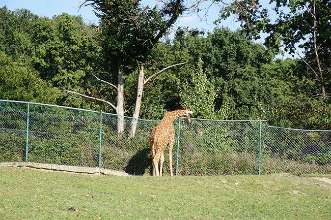 giraffe_02_safari park