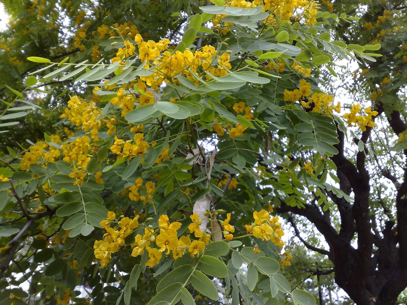 2316 P Acacia de flor amarilla. Flor 19062009.jpg