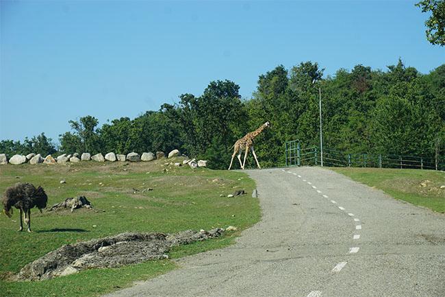 giraffe_safari park