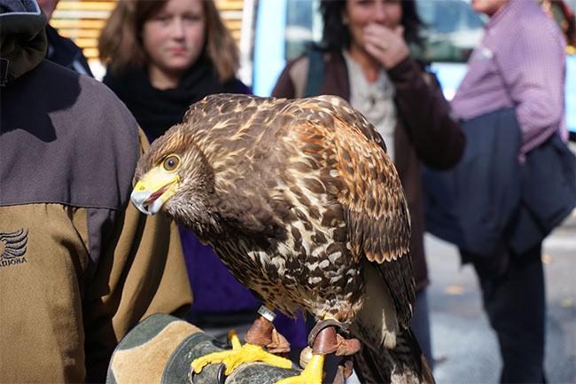 adler_Flugshow Greifvögel